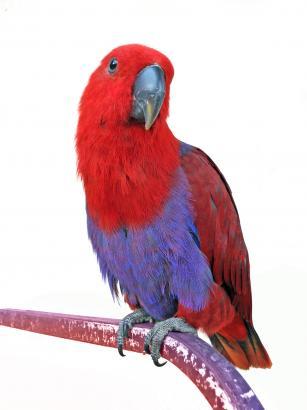 beszedes-nem-beszedes-ecletus-papagaj