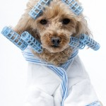 dog-grooming-with-curls